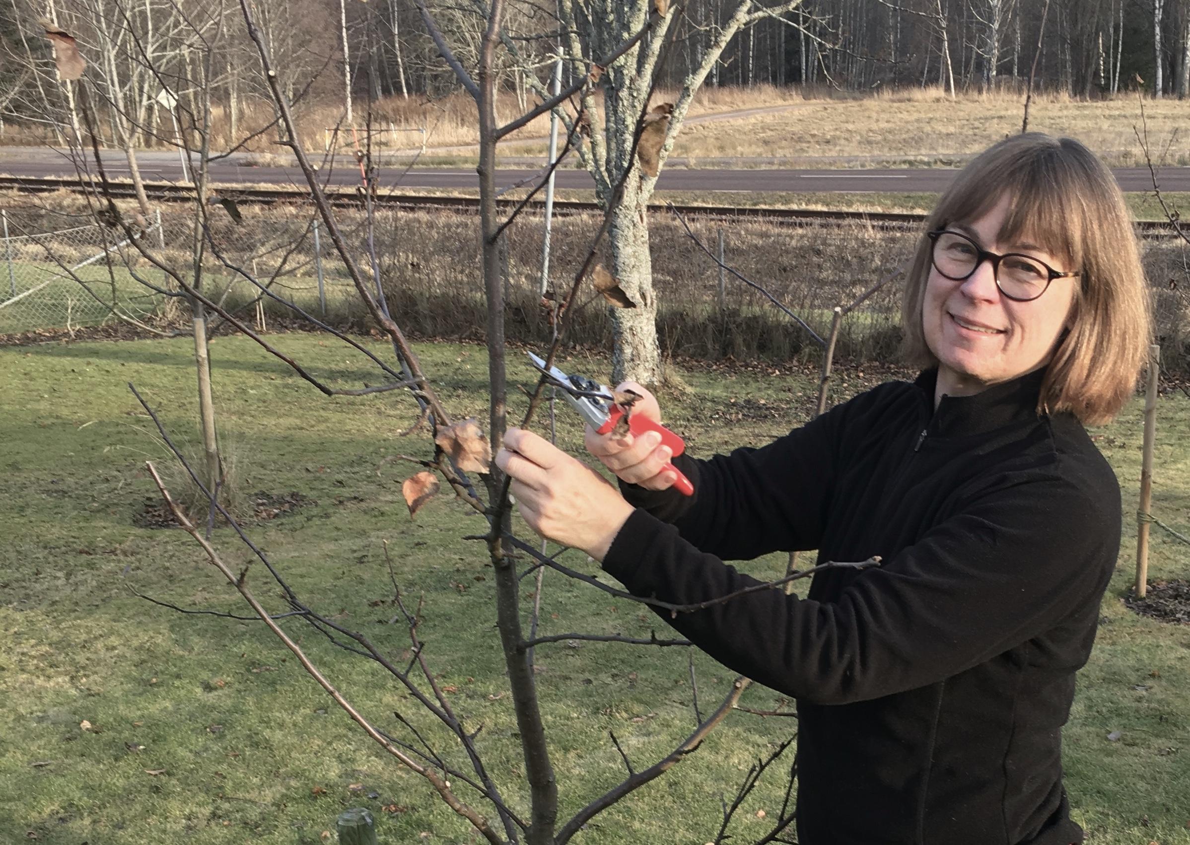 Ann Elgemark beskär ett äppelträd