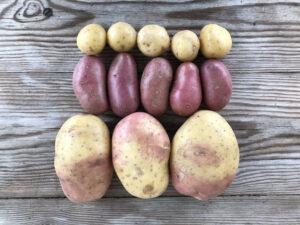 Olika sorters potatis upplagda på ett bord.