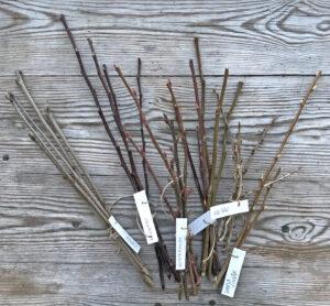 Bilden visar ris från bärbuskar som ska bli sticklingar.