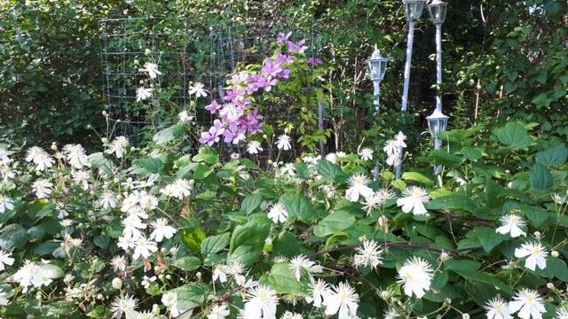 Klematis i massor – trädgårdsbesök
