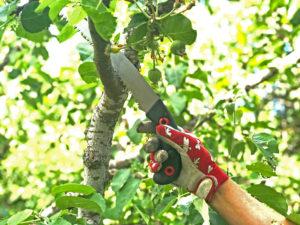 Fruktträdsbeskärning