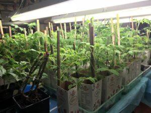 Förodlade plantor under konstljus.